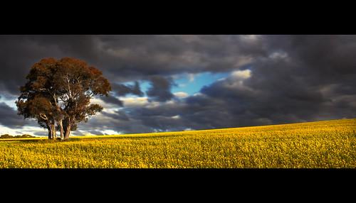 cloud mountain storm flower floral field rain weather yellow rural canon landscape countryside bright farm threatening country meadow australia plantation thunderstorm aussie bathurst thunder canola lithgow 500d sofala cowra mygearandme rhyspope