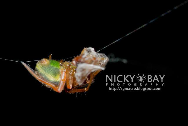 Araneus sp. - DSC_5163