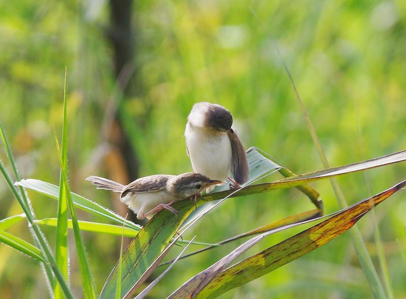 紅尾伯勞 + 褐頭鷦鶯