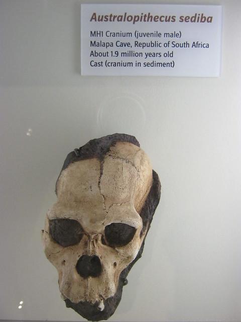 猿人头盖骨化石