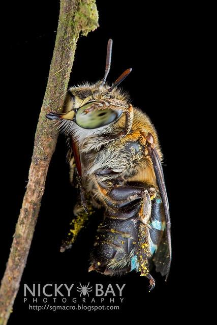 Sweat Bee (Amegilla sp.?) - DSC_1595