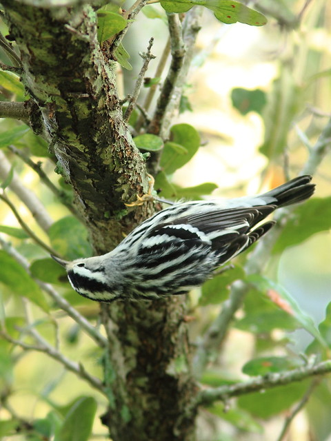 Black-and-white Warbler 2-20120924