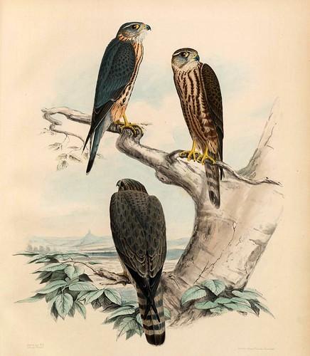 014- Emerillon Hagard- Tiercel Sors y Hagard de Emerillon- Traité de fauconnerie..1853- Hermann Schlegel- Universität Düsseldorf