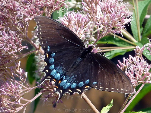 Female Eastern Tiger Swallowtail, Dark Morph