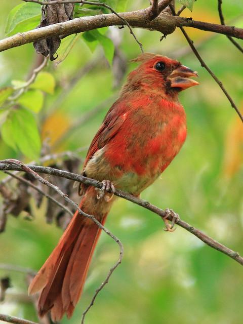 Northern Cardinal 3-20120808