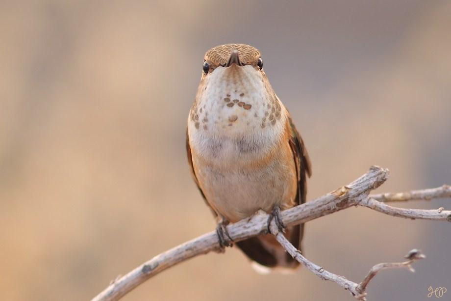 Allen's Hummingbird 080912