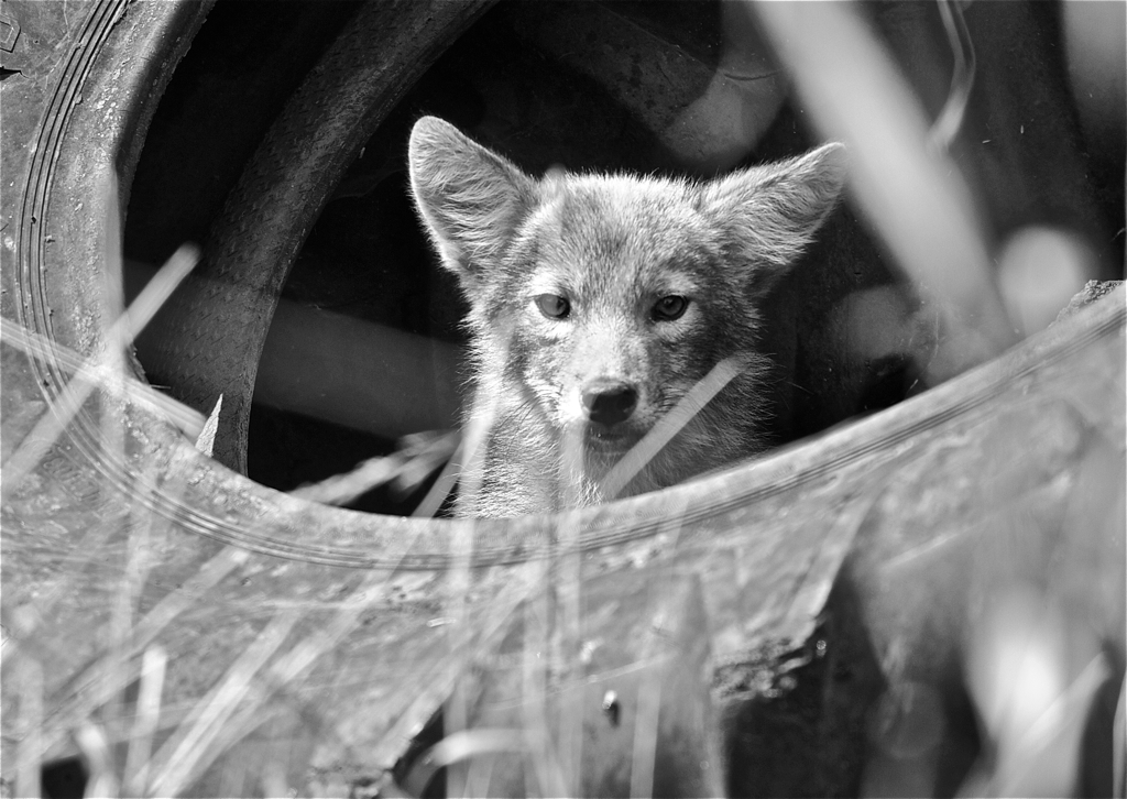 coyote cub wildlife in photography on forums. Black Bedroom Furniture Sets. Home Design Ideas