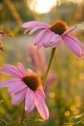 echinacea magnus  2012