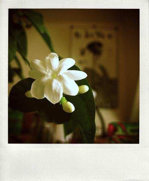 indoor jasmine, 17/52