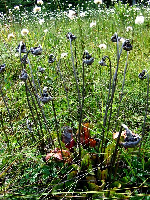 pitcher plant dried flower stalks