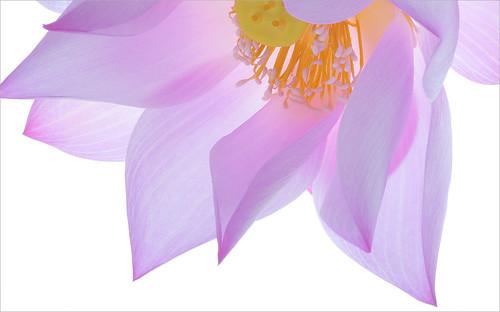 Lotus flower petals: DD0A1253-1000