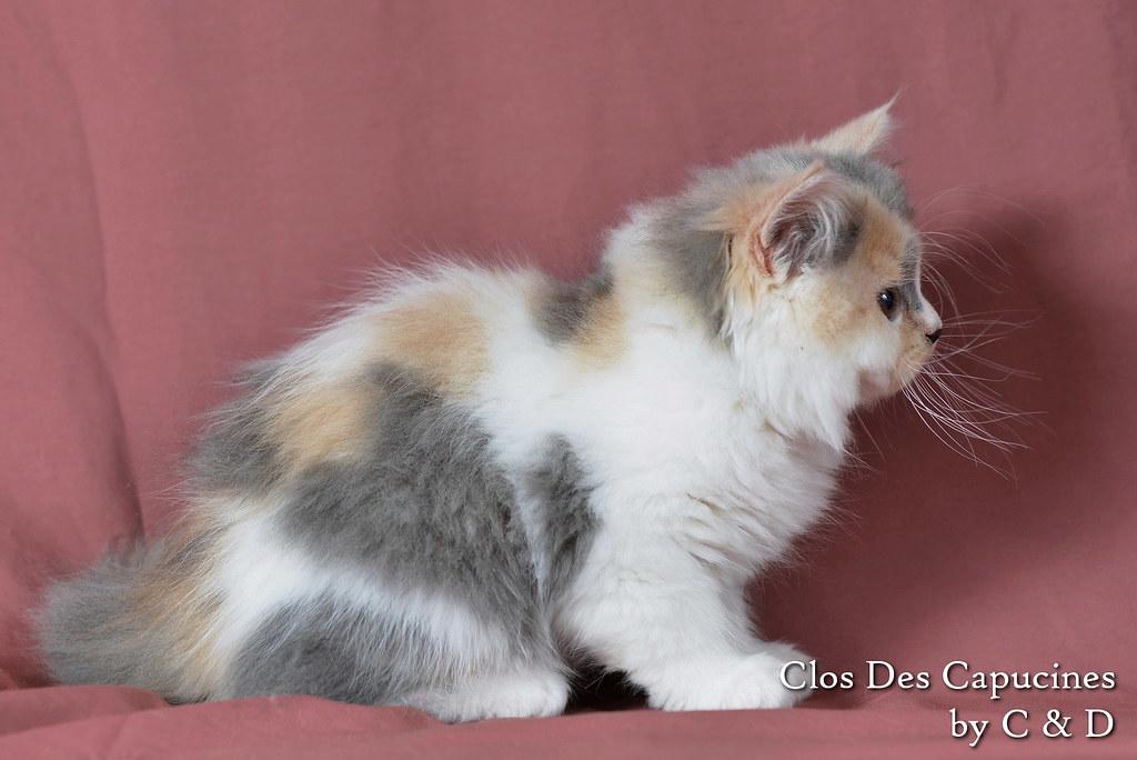 chaton british longhair bleu crème et blanc
