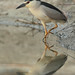 Black-crowned Night Heron - Photo (c) Agustín Povedano, some rights reserved (CC BY-NC-SA)