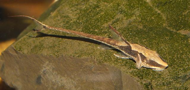 Royal whiptail catfish (Sturisoma aureum) Flickr - Photo Sharing!