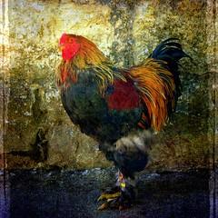 [フリー画像素材] 動物 2, 鳥類, 鶏・ニワトリ ID:201208260600