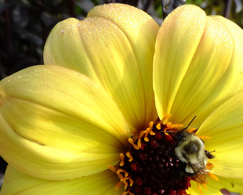 Clarion Dahlia and Bee
