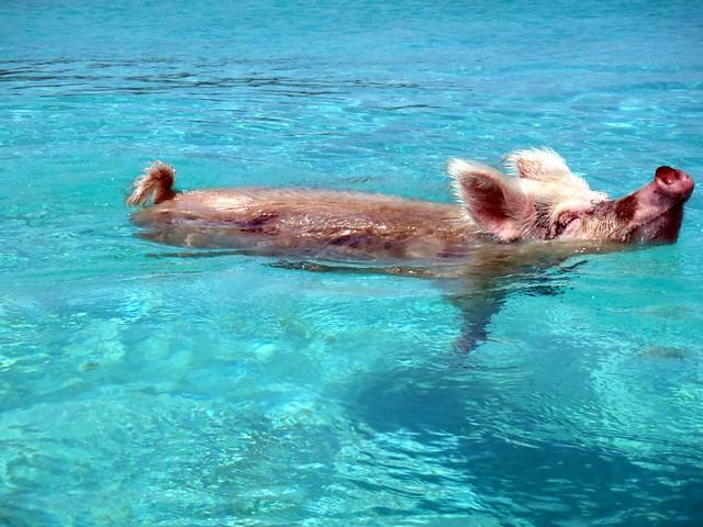 Vorobek Bahamas Swimming Pigs Bahamas On Flickr Photo Sharing