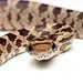 Baby corn snake!