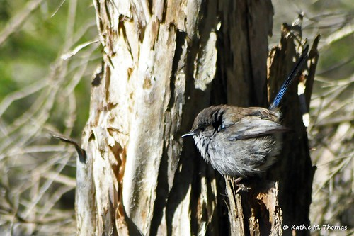 Immature male fairy-wren
