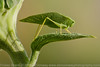 California Katydid - This is a Hit The Keyboard L Image