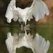 Garceta Egretta garzetta. La reinona de la charca I