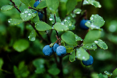 berry, branch, leaf, water, tree, plant, nature, macro photography, flora, green, fruit, close-up, prunus spinosa,