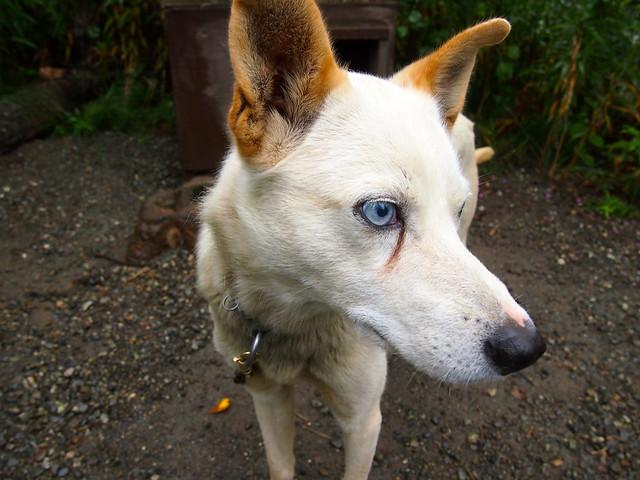 Sled Dog, Alaska