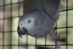 parakeet(0.0), blue(0.0), animal(1.0), parrot(1.0), pet(1.0), fauna(1.0), close-up(1.0), beak(1.0), african grey(1.0), bird(1.0),