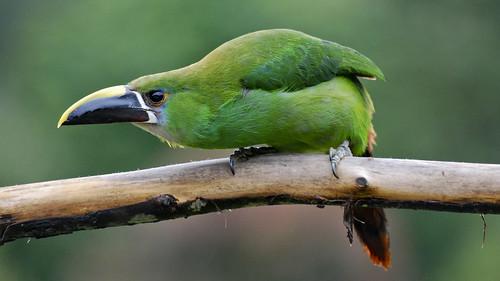 Explored-Aulacorhynchus prasinus albivitta (Emerald Toucanet/Tucancito esmeralda)