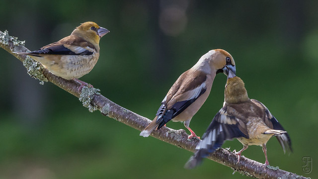Juv. Hawfinch (Coccothraustes coccothraustes) with father--3