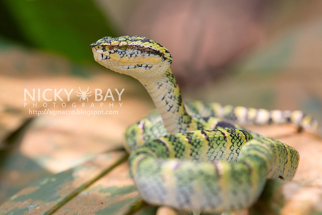 Wagler's Pit Viper (Tropidolaemus wagleri) - DSC_3892
