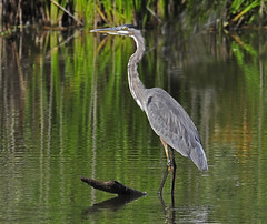 swamp, animal, water, nature, fauna, reflection, heron, pelecaniformes, beak, bird, wildlife,