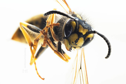 portrait of a wasp 02