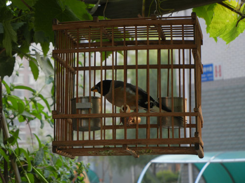 Singing Bird in Cage, Shenyang, China _ 0010