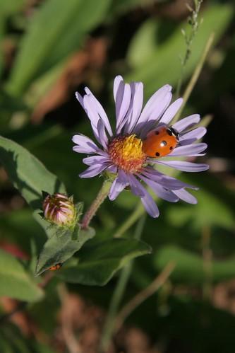 Ladybug and Aster
