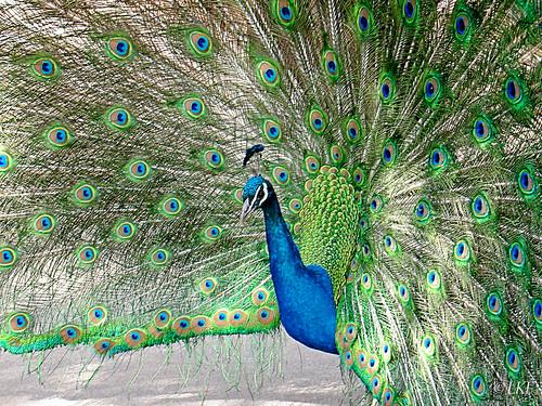 Peacock Pride by Lynn Fleishman