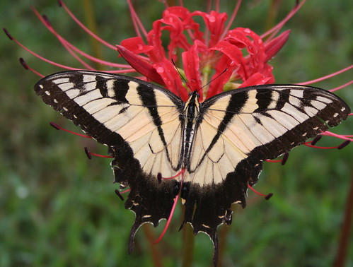 Swallowtail. Photos courtesy of Longue Vue House and Gardens.