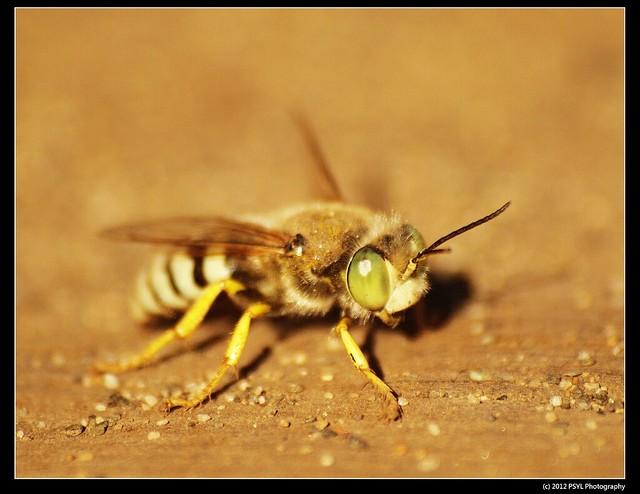 Sand Wasp (Bembix sp.)