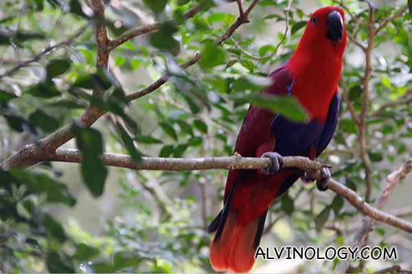 A scarlet macaw