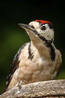 Great Spotted Woodpecker - Junvenile