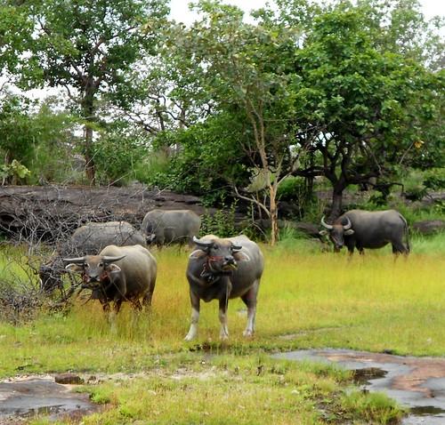 חבורה של תאו מים רועה בשמורה. במרכז: זכר אלפא