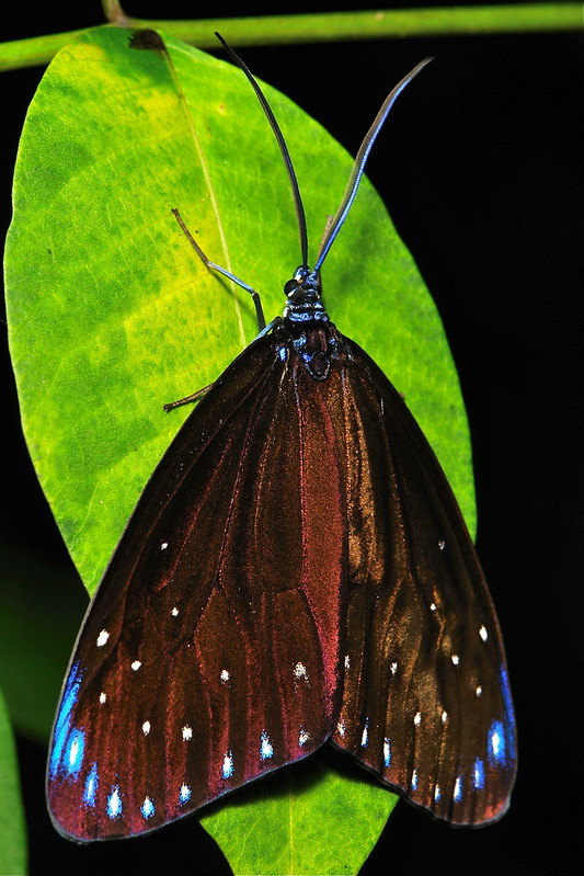 Day-Flying Moth (Cyclosia midamia, Zygaenidae)
