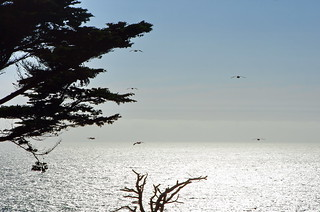 San Francisco on Lands End trail between Point Lobos and Eagle Point 62 Pelicans in flight