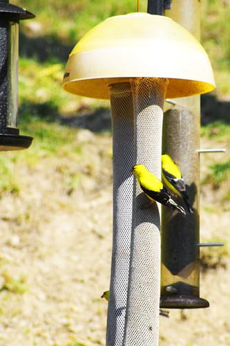 finch bird feeders