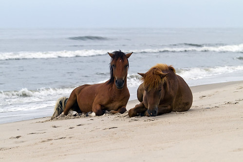Wild Horses of Assateague Island
