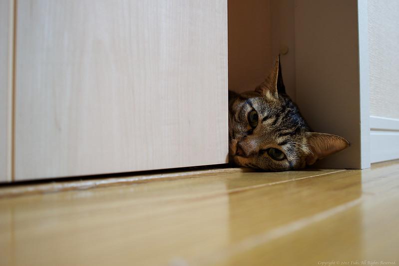 peeping cat