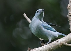 Blue and Grey Tanager - Birding in Peru with Nature Expeditions