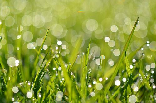 macro green water grass bokeh dew waterdroplets morningdew narrowdepthoffield herowinner ultraherowinner shcmissionwinner