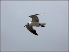 Larus atricilla - Laughing Gull