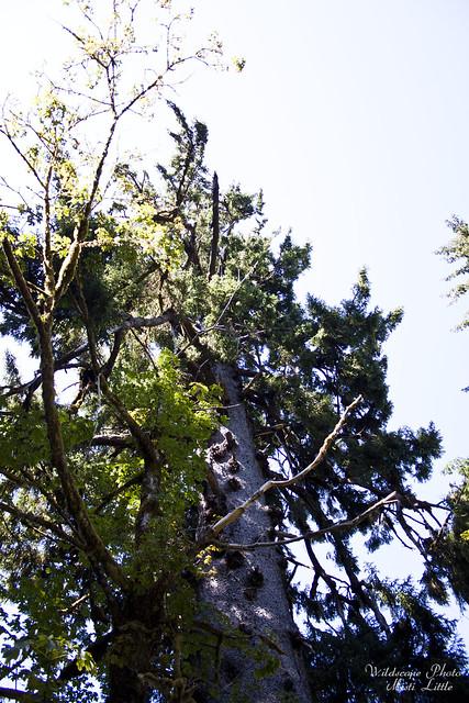 spruce10